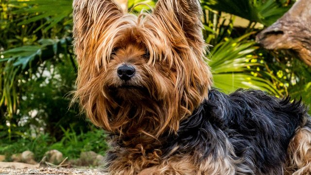 Get to Know Breed of the Month - Yorkshire Terriers