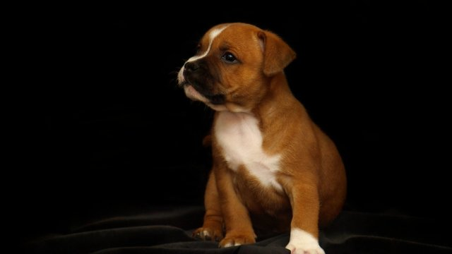 Learn More About The Staffordshire Terrier